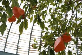 Production d'agrumes d'art par transgénèse